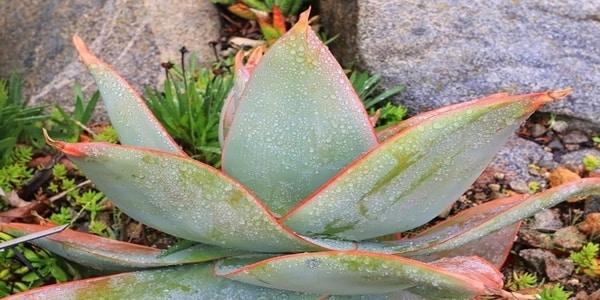 Aloe Striata